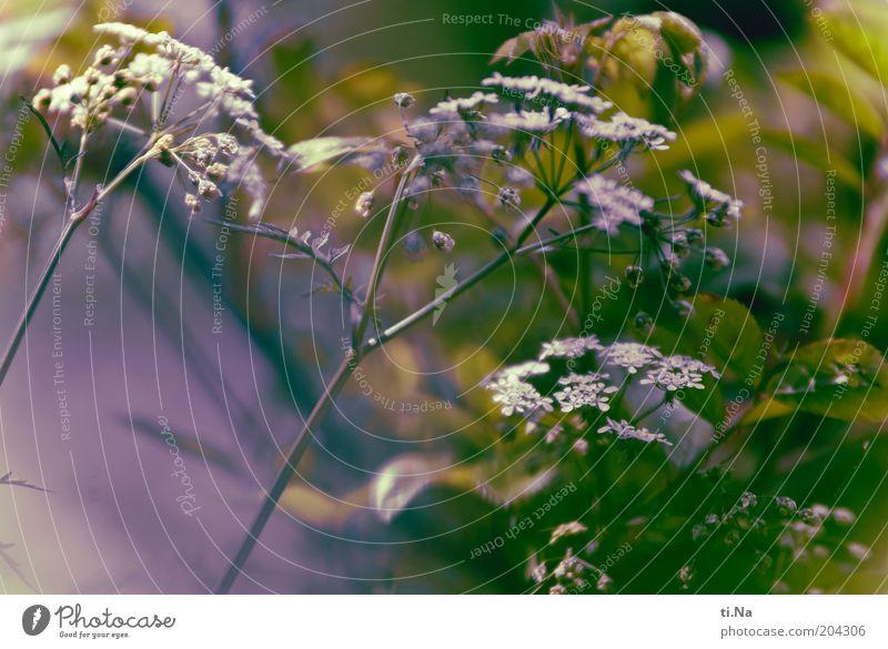 ich mag ungewolltes Kraut Natur weiß grün Pflanze Sommer Blüte Frühling Landschaft hell Umwelt Wachstum authentisch violett wild natürlich Blühend