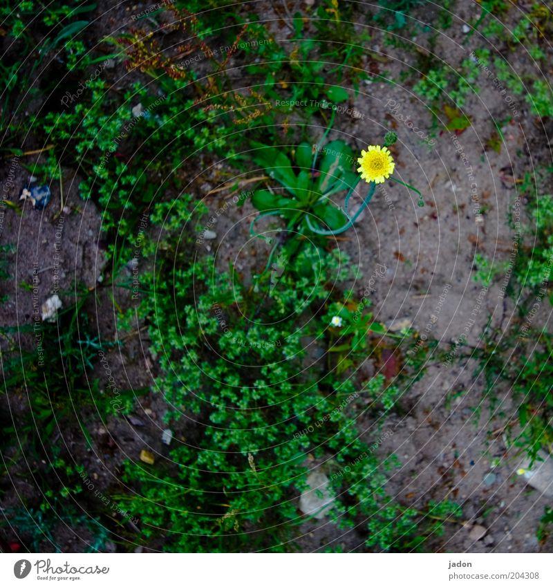 kleiner stern Pflanze Erde Wildpflanze gelb sparsam Punkt Farbfleck Stern (Symbol) Detailaufnahme Vogelperspektive Textfreiraum unten Blume Blüte