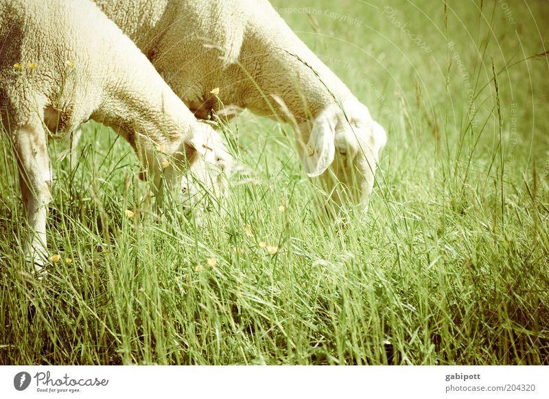 Einschlafhilfe Natur grün schön Tier Wiese Landschaft Gras Glück Zufriedenheit Feld stehen weich Landwirtschaft Schönes Wetter Schaf Haustier