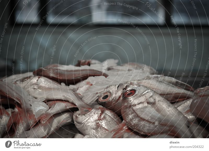 fangfrisch Lebensmittel Fisch Ernährung Bioprodukte Fischmarkt Eis Tier Schuppen Auge Flosse liegen glänzend kalt genießen Fischereiwirtschaft Totes Tier