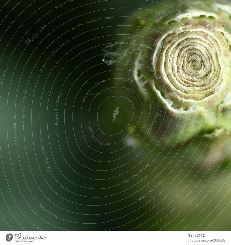 Spirale Natur Blume grün Pflanze Blüte Frühling Kreis ästhetisch rund außergewöhnlich Blütenknospen Makroaufnahme Palme Blattknospe Grünpflanze Verwirbelung