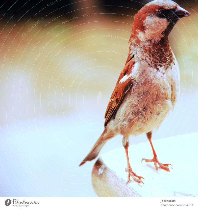schielp tschirrip Vogel 1 Tier beobachten stehen frech frei nah dünn braun Gefühle Akzeptanz Wachsamkeit Neugier Interesse Konzentration gefiedert Spatz Krallen