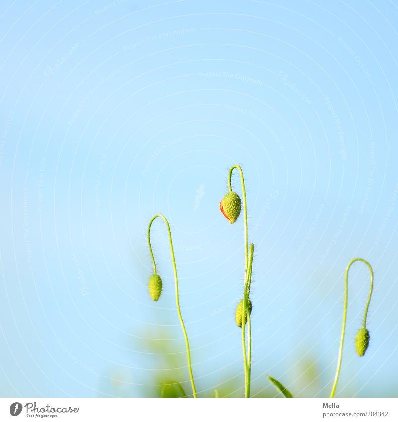 Heute geschlossen Natur Blume grün blau Pflanze Sommer Blüte Frühling Umwelt geschlossen Wachstum natürlich Mohn Blütenknospen Wolkenloser Himmel