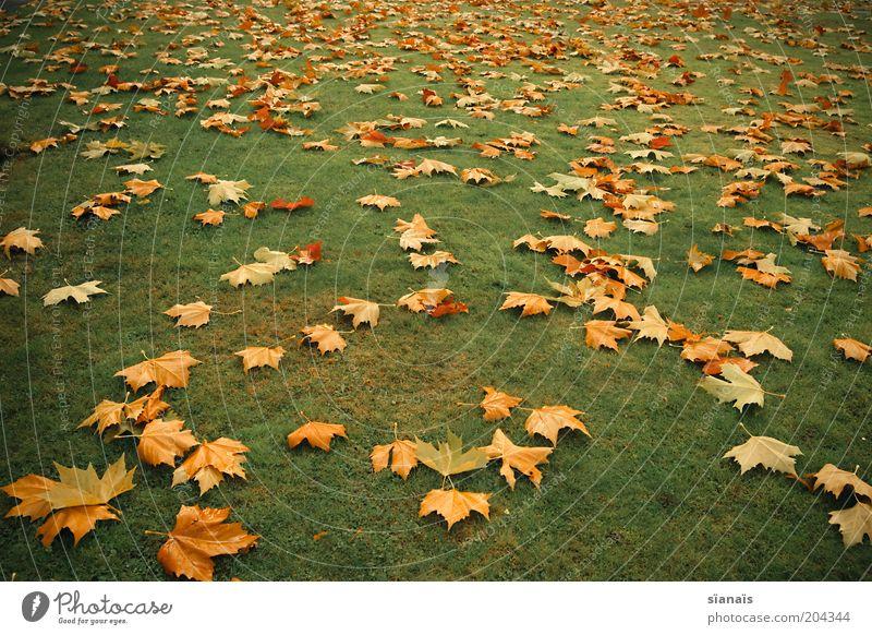 blattgold Umwelt Natur Pflanze Herbst Klima Gras Park Wiese trist unten gelb grün Vergänglichkeit Blatt Herbstlaub herbstlich Ahorn Klimawandel welk verblüht
