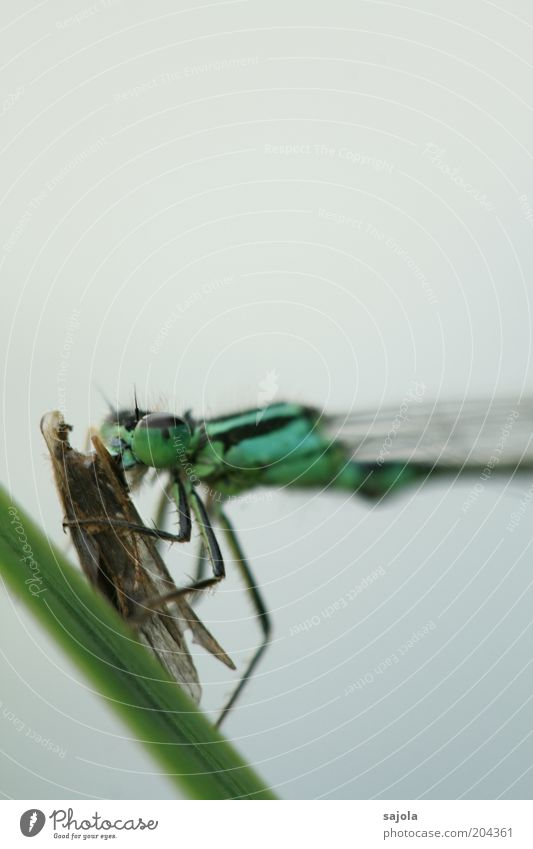 verfressen grün blau Tier Tiergesicht Flügel Insekt festhalten Wildtier Jagd Appetit & Hunger Halm Fressen Beute Hochformat Klein Libelle