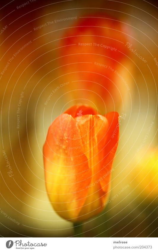 Blütentraum Natur Pflanze rot Sommer gelb Gefühle Blüte Stimmung einzigartig natürlich Warmherzigkeit Schönes Wetter Tulpe positiv Blume