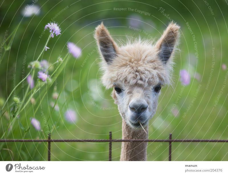 Hallo Nachbar! Wiese Fell Haare & Frisuren Tier Nutztier Alpaka Lama beobachten hören Blick warten Coolness schön Neugier niedlich Wachsamkeit Leben
