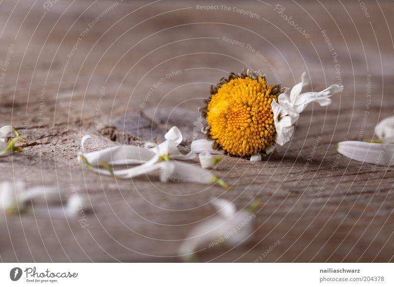 Verblüht alt weiß Pflanze Blume gelb Leben Gefühle Blüte Traurigkeit braun kaputt Boden Trauer Ende Gänseblümchen Trennung