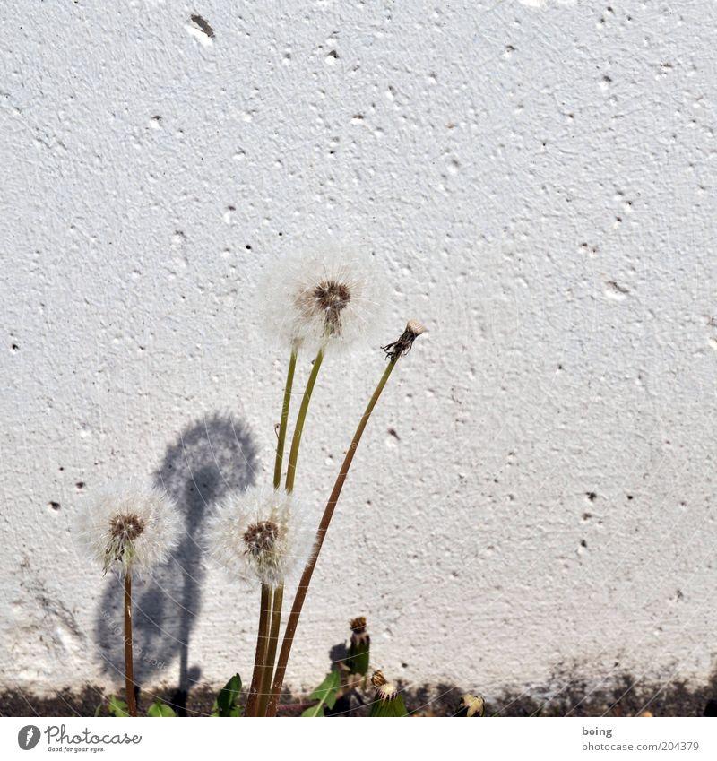 Schattendasein eines Mauerblümchens Umwelt Natur Pflanze super Foto Außenaufnahme Textfreiraum rechts Textfreiraum oben Textfreiraum Mitte Hintergrund neutral