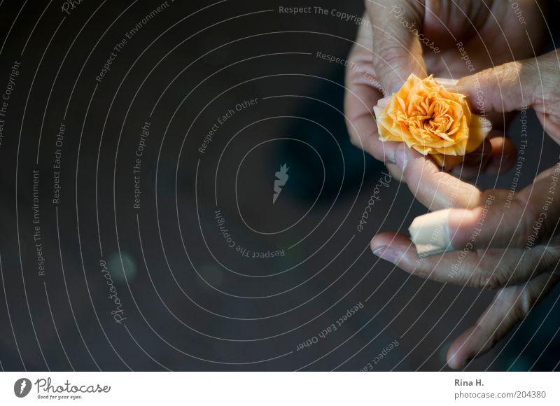 Trost Mann Erwachsene Leben Hand Finger Pflanze Rose alt festhalten authentisch gelb Gefühle Hoffnung Glaube Heftpflaster trösten Farbfoto Außenaufnahme
