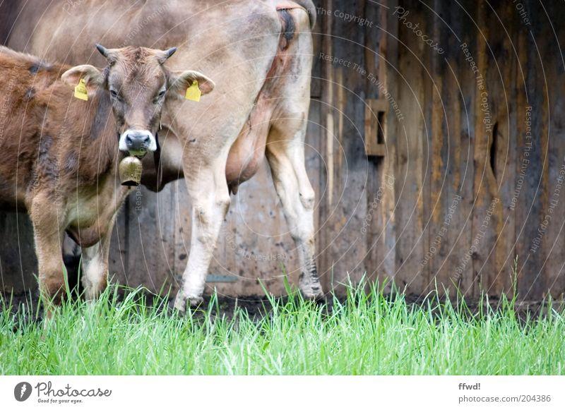 Braunvieh Tier Wiese Wand Gras Mauer Zusammensein Fassade beobachten Alpen Neugier Tor Landwirtschaft Kuh Hütte Weide Wachsamkeit