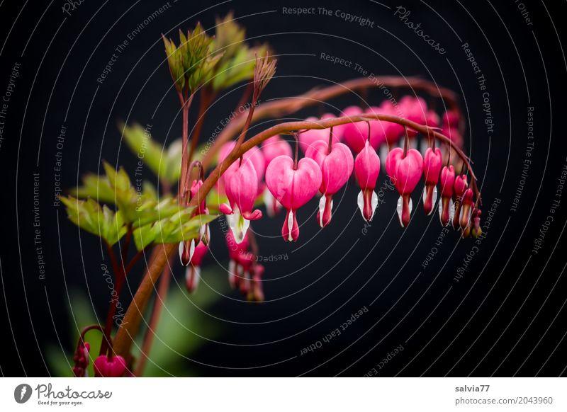 Herz an Herz Natur Pflanze schön grün Blume rot schwarz Leben Blüte Frühling Liebe Garten Blühend Duft positiv