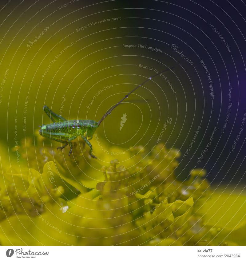 junger Hüpfer Natur Pflanze blau grün Blume Tier Leben gelb Blüte Frühling klein Garten oben Wassertropfen einzigartig niedlich