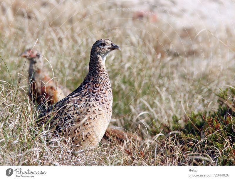 im Dünengras ... Umwelt Natur Landschaft Pflanze Tier Sommer Schönes Wetter Gras Insel Spiekeroog Wildtier Vogel Fasan 2 Tierjunges beobachten Blick stehen