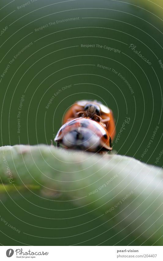 Scharfer Käfer Tierpaar festhalten Zusammensein wild Leidenschaft Natur Farbfoto Außenaufnahme Makroaufnahme Bewegungsunschärfe Schwache Tiefenschärfe