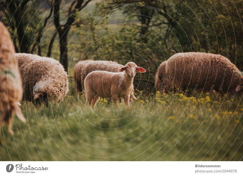 Schafsherde Frühling Sommer Gras Wiese Tier Nutztier Lamm Tiergruppe Herde Tierjunges Tierfamilie Fressen Landwirtschaft Ostern Osterlamm Blumenwiese Wolle