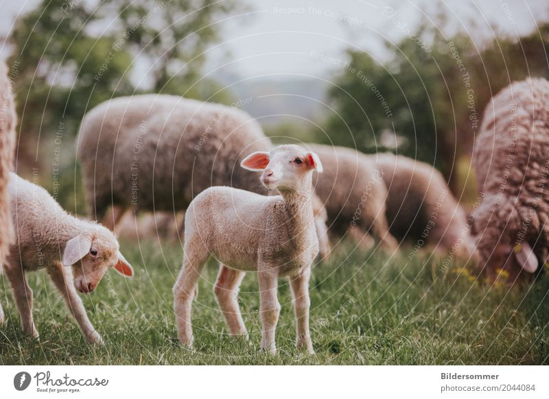 . Natur Gras Wiese Weide Tier Nutztier Schaf Lamm Osterlamm Tiergruppe Herde Tierjunges Beginn rein Landleben Bauernhof Landwirtschaft Ostern Farbfoto