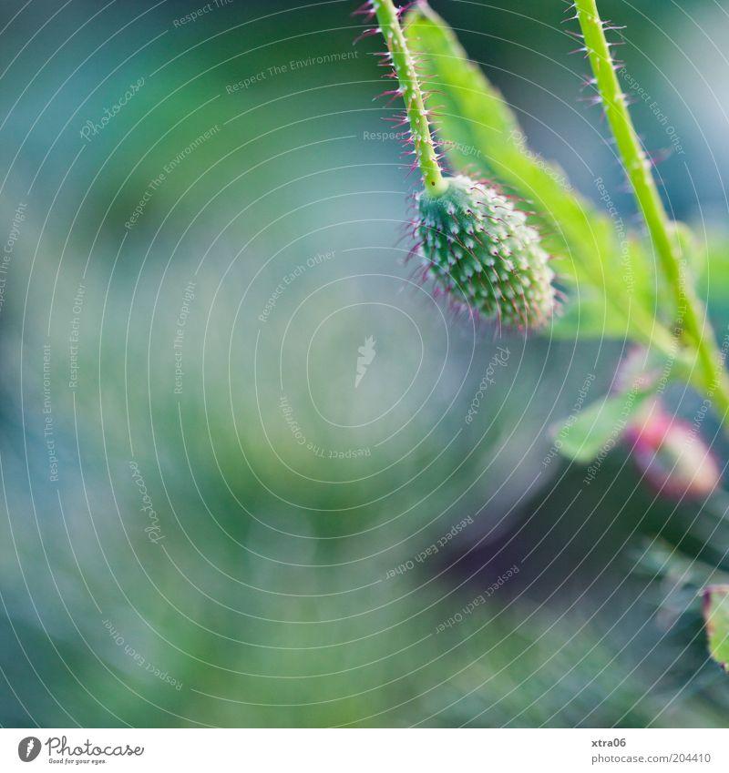 leiser mohn Natur Blume Pflanze klein Mohn Textfreiraum links Mohnblüte
