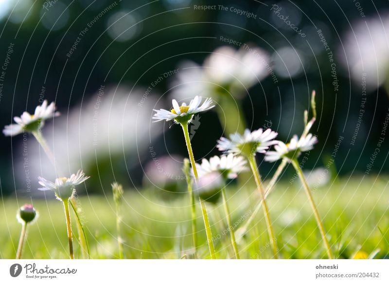 Daisy Natur Pflanze Sommer Blume Gras Blüte Gänseblümchen grün Farbfoto Außenaufnahme Tag Unschärfe Schwache Tiefenschärfe Nahaufnahme Stengel Blütenstiel