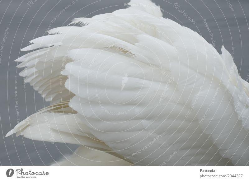 swanlike Federkleid Wildtier Schwan Flügel 1 Tier Schwimmen & Baden grau weiß ästhetisch elegant Leichtigkeit Stolz See Brooklyn Frühling Außenaufnahme