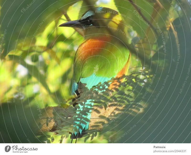 Guardabarranco Wildtier Vogel Tiergesicht Flügel 1 beobachten warten außergewöhnlich Coolness exotisch nah schön blau mehrfarbig gelb grau grün orange weiß