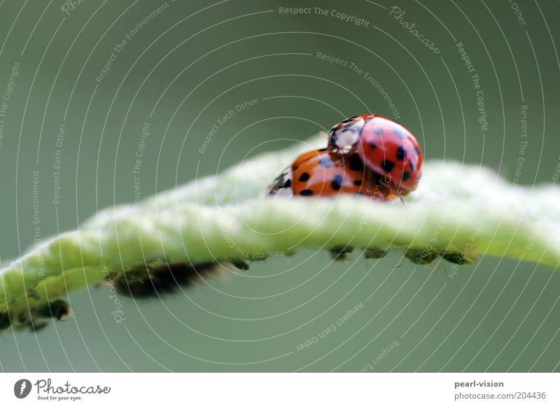 Blattleben Natur oben Zusammensein Tierpaar Käfer krabbeln Marienkäfer Verbundenheit Fortpflanzung Makroaufnahme Blattläuse