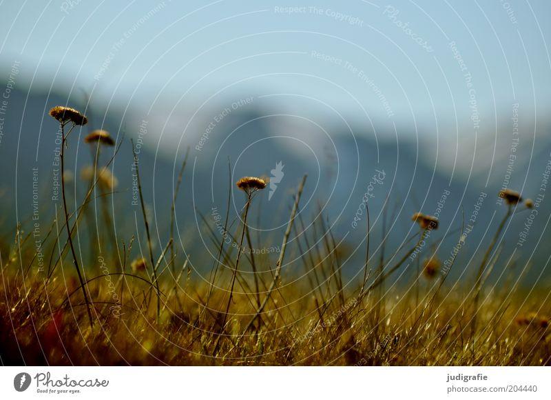 Island Umwelt Natur Pflanze Himmel Frühling Blume Gras Wildpflanze Berge u. Gebirge verblüht dehydrieren Wachstum natürlich wild Farbfoto Außenaufnahme