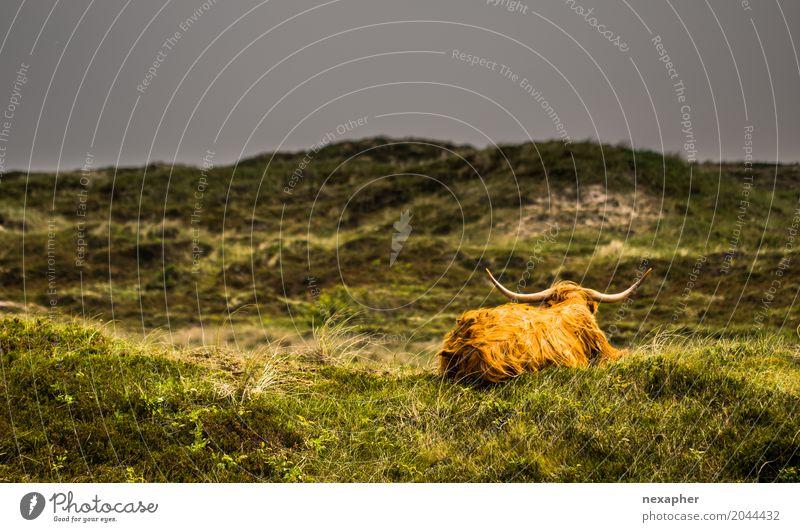 Vieh auf Wiese in der Front des Sonnenscheins und des schlechten Wetters Natur Sommer grün Landschaft Wolken Tier dunkel gelb Traurigkeit Frühling natürlich