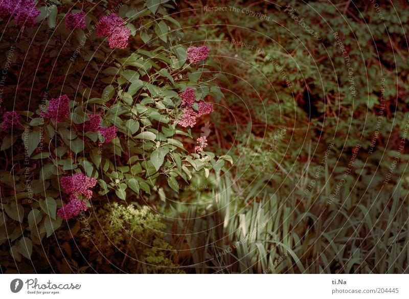 Abendrestelicht Umwelt Natur Landschaft Pflanze Sträucher Blatt Blüte Fliederbusch Garten Blühend Duft Wachstum schön Farbfoto Außenaufnahme Dämmerung