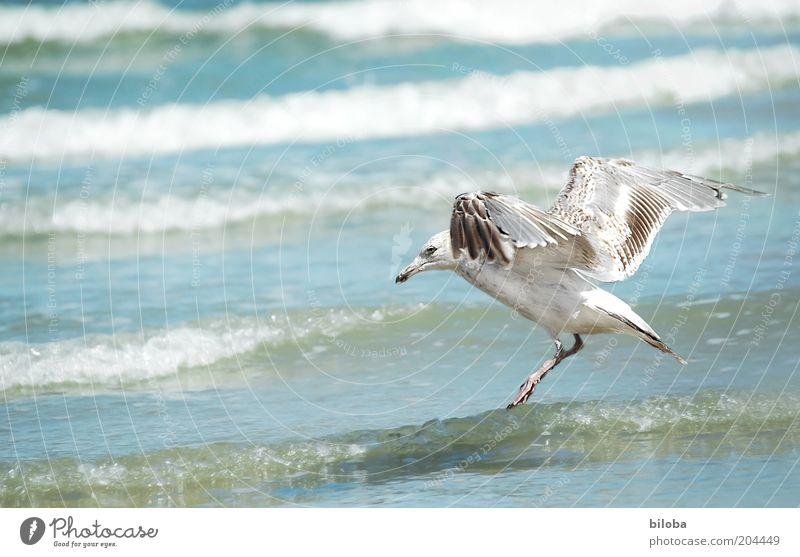 Wasserlandung Tier Wildtier Vogel Flügel 1 fliegen blau braun weiß Freiheit Möwe Wellen wild Natur Textfreiraum links Nordsee Brandung Außenaufnahme