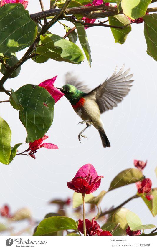 Quick stop Freiheit Safari Sommer Sommerurlaub Umwelt Natur Pflanze Baum Blume Blatt Blüte Tier Wildtier Vogel Flügel Nektarvogel 1 fliegen füttern klein nah