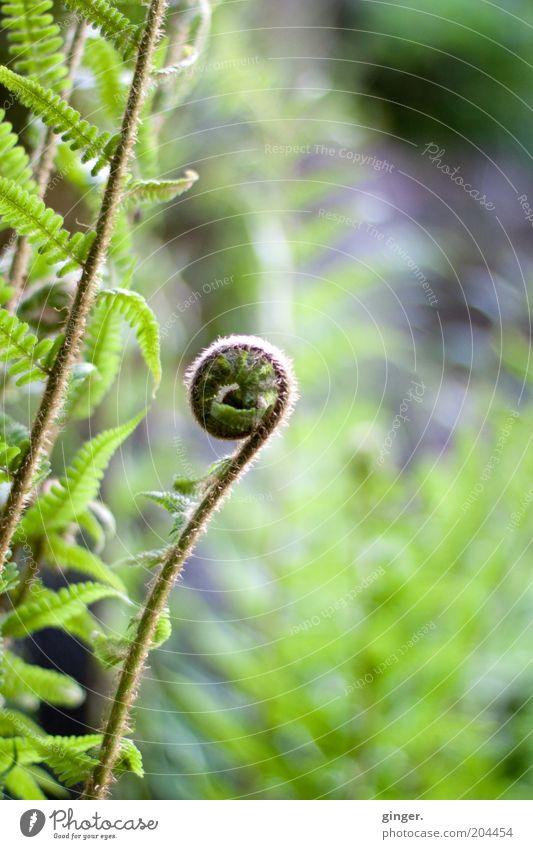 Farnkringel Natur Pflanze Frühling Blatt grün Farnblatt eingerollt Gefäßsporenpflanzen Heilpflanzen Spirale Menschenleer außergewöhnlich Unschärfe Farbfoto