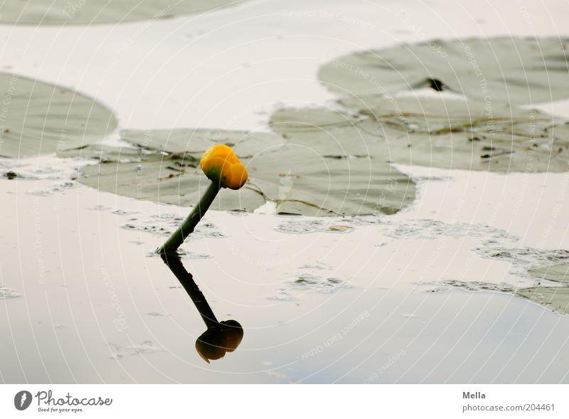 Stille(r) See Umwelt Natur Pflanze Wasser Frühling Sommer Blume Blatt Blüte Seerosen Seerosenblatt Wasserpflanze Teich Wachstum natürlich Stimmung ruhig Idylle