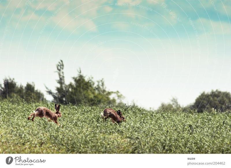Hasenjagd Spielen Jagd Umwelt Natur Landschaft Pflanze Tier Himmel Wolken Schönes Wetter Gras Wiese Feld Wildtier Hase & Kaninchen 2 Tierpaar laufen wild Flucht