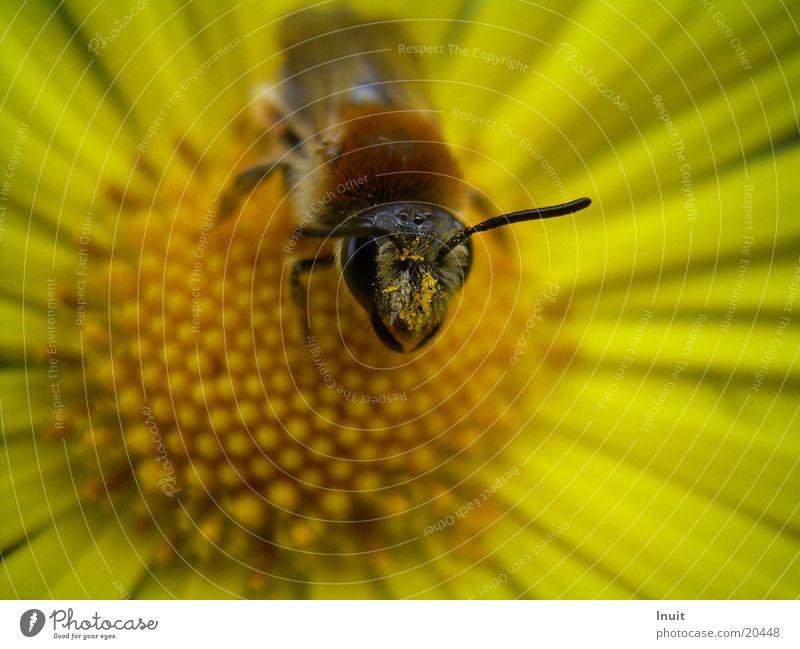 Blick Blume gelb Blüte Insekt Biene Pollen