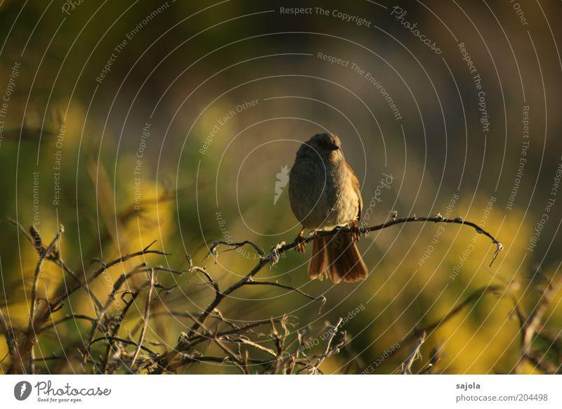 piepmatz in der dämmerung Natur Tier Stimmung Vogel warten Umwelt sitzen Wildtier Abenddämmerung Blick nach vorn