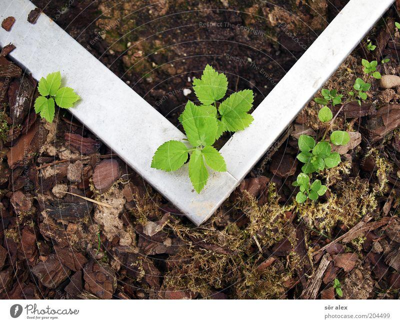 Subkultur Pflanze Moos Blatt Grünpflanze Wildpflanze Edelstahl Rindenmulch Metall Wachstum eckig braun grau grün silber Schutz Ausgrenzung Trennung Grenze