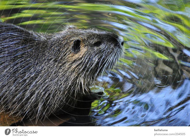 Nutria Umwelt Natur Wasser Bach Fluss Tier Wildtier Tiergesicht Fell 1 Schwimmen & Baden Biberratte Farbfoto Gedeckte Farben Nahaufnahme Detailaufnahme Tag