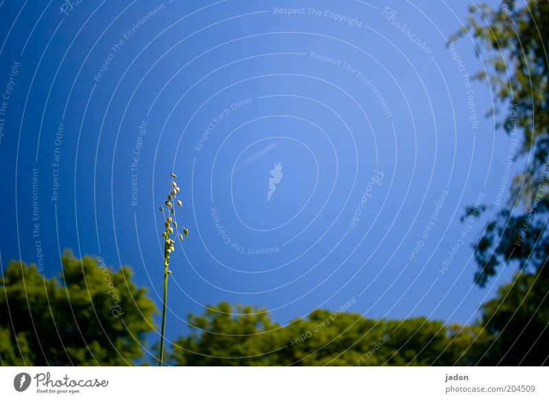 es darf gezittert werden. Natur blau Pflanze Gras Wachstum aufwärts Halm Schönes Wetter einzeln vertikal Blauer Himmel himmlisch streben Wolkenloser Himmel himmelwärts
