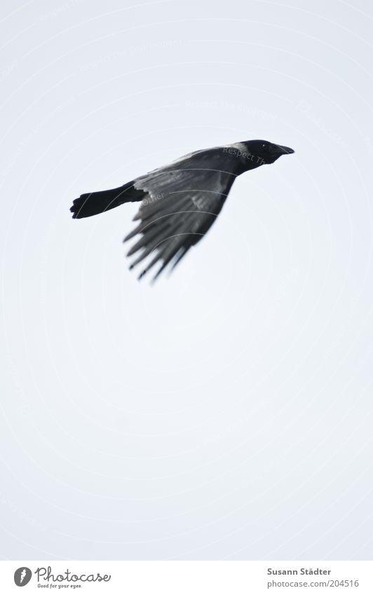 Es geht wieder aufwärts Natur Tier Vogel fliegen gut Wildtier Richtung positiv aufsteigen fliegend Rabenvögel Bewegung Aufschwung steigend Flugrichtung