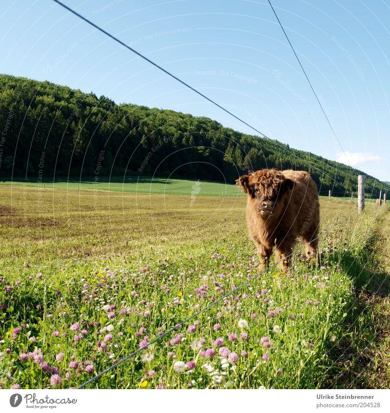 Unter Strom Rind Schottisches Hochlandrind Kalb Landwirtschaft Viehzucht Jungbulle Bulle Wiese Weide Gras Weidezaun Zaun Elektrizität Elektrozaun Viehweide grün