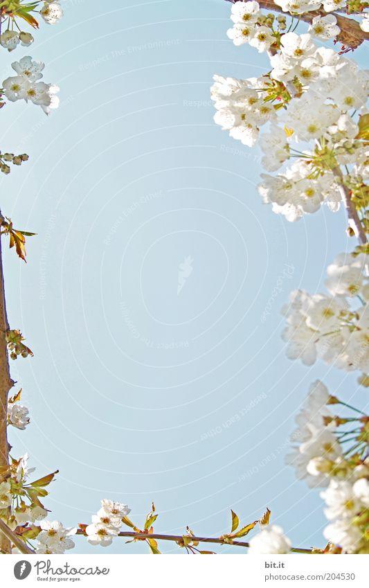 Frühlingsgrüße 5 Pflanze Luft Schönes Wetter Blüte blau Kirsche Kirschbaum Kirschblüten Blühend Frühlingstag weiß Himmel duftig zart schön Farbfoto