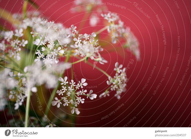 rot-weiß Natur Pflanze Gras Sträucher Blüte Nutzpflanze Wildpflanze schön Leben Duft mehrfarbig Innenaufnahme Nahaufnahme Menschenleer Tag Sonnenlicht