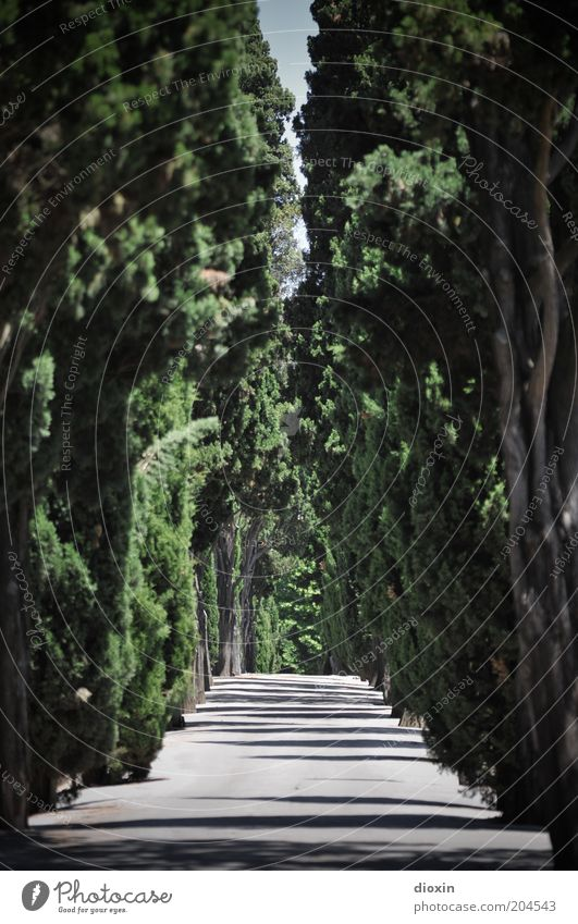 Friedhof der Vergnügungen Natur Baum Pflanze Sommer ruhig Wege & Pfade Umwelt hoch Wachstum Vergänglichkeit lang Reihe Fußweg Allee Durchblick Durchgang