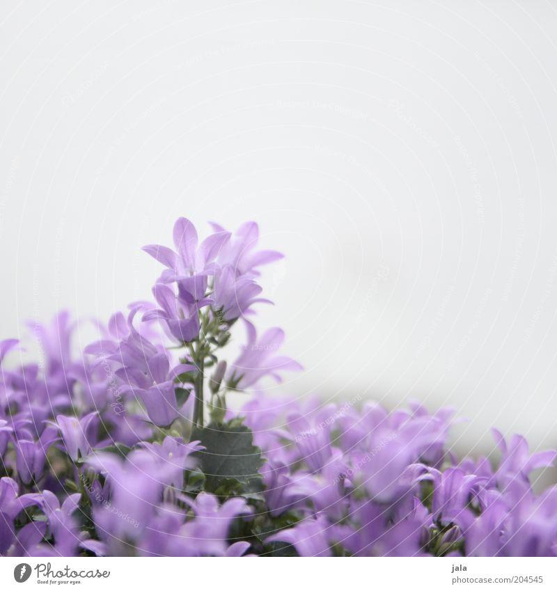 violetta schön Blume rosa violett Blühend Blütenblatt Blütenstauden