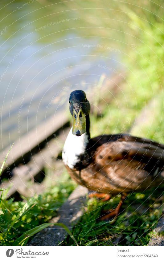 Ein Erpel (I) Umwelt Natur Tier Wasser Sonnenlicht Frühling Sommer Teich See Wildtier Tiergesicht Ente Schnabel Feder 1 beobachten Blick nass Neugier niedlich