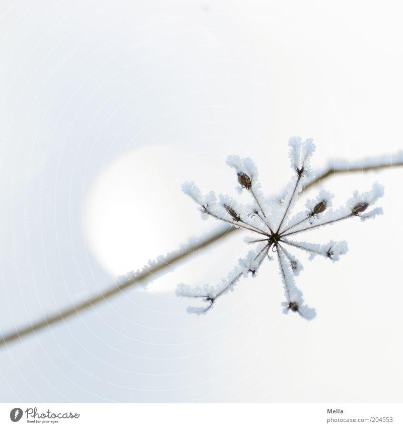 Sternenklar Natur weiß Pflanze Winter Farbe kalt Schnee Blüte Eis Stimmung hell Umwelt ästhetisch Frost Klima rein