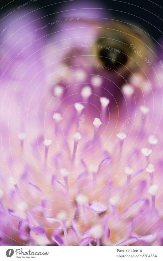weg ist sie Umwelt Natur Sommer Pflanze Blume Blüte Wildpflanze Tier Wildtier Biene 1 Farbe Hinterteil Staubfäden schön geschmeidig sanft ruhig Insekt Farbfoto
