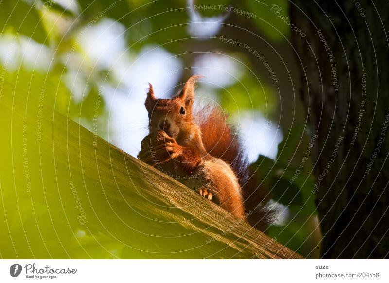 Studentenfutter Umwelt Natur Pflanze Tier Baum Fell Wildtier Eichhörnchen Nagetiere 1 Fressen sitzen klein natürlich niedlich grün rot Walnuss Nuss Tiergesicht