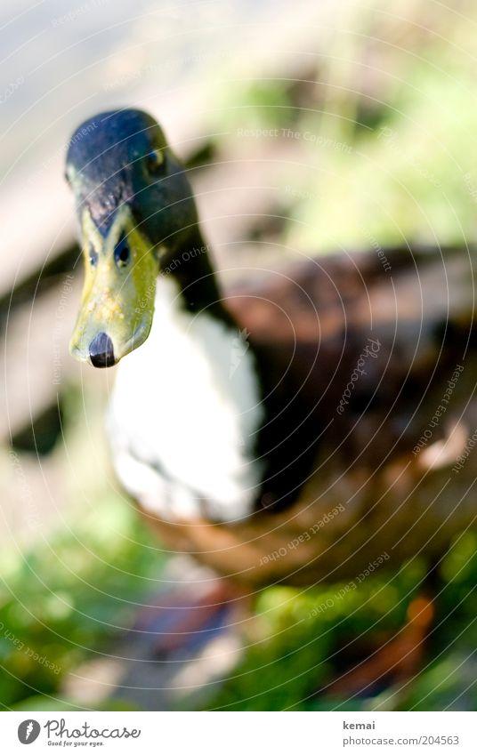 Ein Erpel (II) Umwelt Natur Tier Sonnenlicht Wildtier Vogel Tiergesicht Ente Schnabel 1 Blick nah nass Neugier niedlich Sympathie Tierliebe Interesse Farbfoto